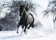 Germany, Baden Wuerttemberg, Black horse running in snow Running In Snow, Athens Guide, Horse Riding Boots, Black Thunder, Akhal Teke, Black Horses, Horse Photos, Equine Photography, Equestrian