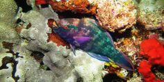 Parrotfish at the Similan islands www.similandivecenter.com