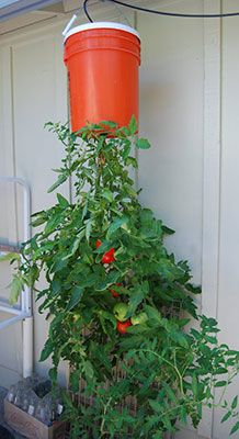Tomato growing upside down in hanging bucket.  There are lots of options available - check some out in this article