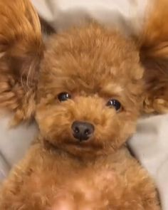 Your daily dose of cuteness 😍 - - Pudel - Puppies Cute Funny Animals, Cute Baby Animals, Funny Dogs, Cute Cats, Cute Stuffed Animals, Poodle Puppy Miniature, Cute Dogs And Puppies, Doggies, Cute Animal Videos