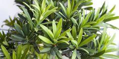 Pielęgnacja podokarpa wielkolistnego / chińskiego jako bonsai. Wskazówki dot. podłoża, przycinania i kształtowania.