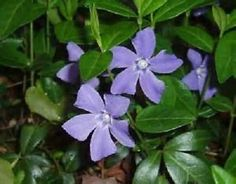 10 Creeping Myrtle Periwinkle Vinca Vines Flowering Plants Ground Cover SHADE for sale online Periwinkle Plant, Ground Cover Shade, Periwinkle Flowers, Ground Cover Plants, Shade Flowers, Purple, Flowers Perennials, Planting Flowers, Gardens