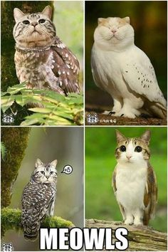 "With Cat Heads Are Totally Creepy-Cute Haha! ""Meowls"" - owls with cat's heads! ""Meowls"" - owls with cat's heads! Funny Shit, Funny Cute, Hilarious, Funny Stuff, Animal Memes, Funny Animals, Cute Animals, Animal Mashups, Animal Quotes"