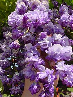 Amazon.com : BLACK DRAGON WISTERIA - DOUBLE FLOWERING FRAGRANT VINE 2 - YEAR…