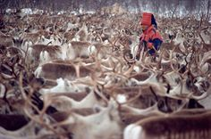 Sami herder, Aslak, with his reindeer herd. Kautokeino, Sapmi. North Norway.: Kautokeino, Norwegian Lapland: Arctic & Antarctic photographs, pictures & images from Bryan & Cherry Alexander Photography.