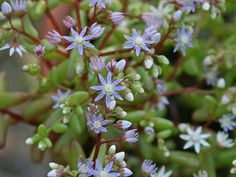 Sedum caeruleum (Azure Stonecrop) is an annual, succulent, bushy herb, simple or much branched from the base, erect, up to 6 inches...