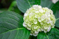 Podívejte se, jak pěstovat hortenzie, jak je množit a vyberte si z přehledu odrůd tu pravou! Hydrangea Paniculata, Pergola, Flora, Garden, Plants, Hydrangeas, Author, Garten, Outdoor Pergola