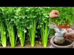 Planting Vegetables, Growing Vegetables, Cardamom Plant, Terraced Vegetable Garden, Growing Coriander, Mint Garden, Frozen Pictures, Agriculture Farming, Bottle Garden