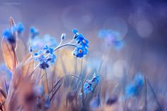 Forget-Me-Not by Magda Bognar #xemtvhay