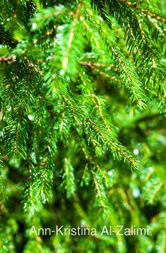 Ann-Kristina Al-Zalimi, flora, norwegian spruce, Picea abies, kuusi, picea, kuusen oksat, tree, garden, nature, gran
