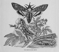 Devil moth~Absinthe