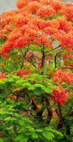 Science Discover The Flamboyant TreePorto Rico What A Beautiful World Beautiful Roses Beautiful Gardens Unique Trees Colorful Trees Beautiful Nature Wallpaper Beautiful Landscapes Delonix Regia Nature Pictures Beautiful Nature Wallpaper, Beautiful Landscapes, Beautiful Gardens, Unique Trees, Colorful Trees, Delonix Regia, Landscape Photography, Nature Photography, Beautiful Rose Flowers
