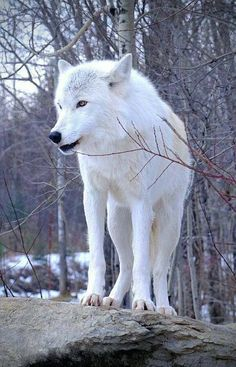 My beautiful Artic Wolf. I will dream of you running free in the Woods…🐺… My beautiful Artic Wolf. I will dream of you running free in the Woods…🐺🌲💜 Wolf Photos, Wolf Pictures, Animal Pictures, Wolf Images, Animals Photos, Wolf Love, Beautiful Creatures, Animals Beautiful, Animal Espiritual