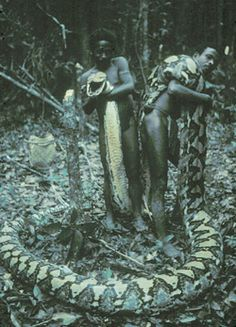Reticulated Python killed in the Philippines in The world's longest snake. Females typically weigh 75 kilograms and grow larger than 7 metres Les Reptiles, Reptiles And Amphibians, Animals And Pets, Cute Animals, Reticulated Python, Giant Snake, Primates, Beautiful Creatures, Pet Birds