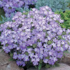 Tuscany verbena, spreads 2 ft, perennial 7-10, Compact, mounded plants bloom heavily over 3 seasons!
