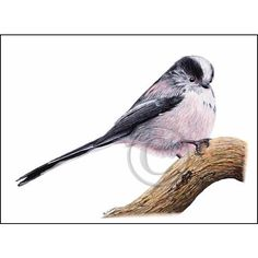 Bird Art, LONG TAILED TIT painting, Tit Bird, Cyanistes caeruleus,... ($10) ❤ liked on Polyvore featuring home, home decor, wall art, watercolor painting, blue bird painting, blue wall art, blue painting and watercolor bird paintings