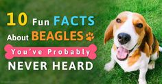 Here are 10 cool facts about beagles: the fifth most popular dog breed in the US. http://healthypets.mercola.com/sites/healthypets/archive/2015/04/24/10-beagle-facts.aspx
