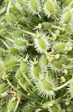 the blackberry garden: Wordless Wednesday - hedgehog seeds