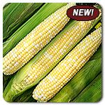 "Organic Allure F1 Hybrid Corn - Seductive sweetness in a high-quality bicolor! Allure is the first organically available synergistic sweet corn, combining confectionary sweetness with excellent seedling vigor. Sturdy stalks grow 6-7' tall in an impressively uniform stand. When the trials crew harvested sweet corn from our 2013 trials, Allure was the variety most commonly set aside for personal reserves and the preferred one to ""sample"" during harvest."