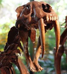 Sabre-tooth cat (Smilodon californicus) is the official state fossil of California.  The one pictured is from La Brea Tar Pits in Los Angeles (great place to visit).