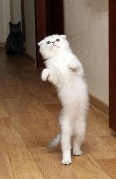 """Cats : Coco was practising her walk for the up and coming """"International Top Cat Competition' in New York ….."""