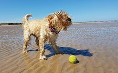 How much exercise does a Cockapoo (Spoodle) need - Barkercise Cockapoo Puppies, Goldendoodle, Hotel Pet, Beautiful Vacation Spots, Easiest Dogs To Train, English Mastiff, Summer Dog, Dog Beach, Dog Travel