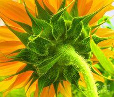 Pretty  Sunflower Back Photograph