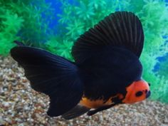 Wow! what a dorsal fin! Goldfish Auction 12/18/2013