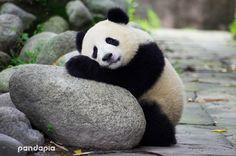 worn out baby panda . worn out baby panda . Niedlicher Panda, Panda Bebe, Panda Art, Funny Animal Pictures, Cute Funny Animals, Cute Baby Animals, Cute Pictures, Wild Animals, Panda Mignon