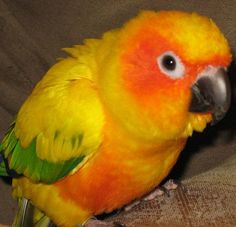 LOST CONURE: 11/18/2014 - Seattle, Washington, WA, United States. Ref#: L28645 - #ParrotAlert #LostBird #LostParrot #MissingBird #MissingParrot #LostConure #MissingConure