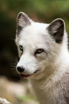 Fox:  Blue Eye / Golden Eye