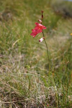 Prairiebreak: The Drakensberg Tritonia drakensbergensis (or is it disticha?) on Naude's Nek