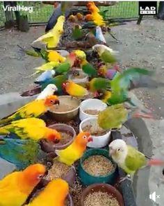 Conure, Cockatiel, Parakeet, Parrots, Love Birds, Creatures, Animals And Pets, Parakeets, Parrot