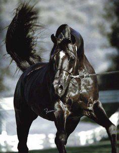Ein schwarzer Araber. *_* - Pferd Mehr