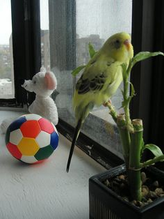 Budgie love looking out the window.  He looks so happy!