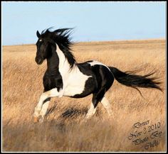 Gorgeous Wild Black And White Paint Mustang Loping On The Prairie Pretty Horses Horse