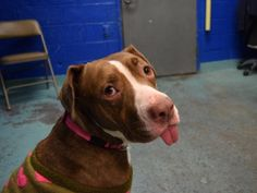 VENUS - A1099781 - - Brooklyn Please Share:TO BE DESTROYED 12/28/16 A volunteer writes: There's cute…and then there's VENUS! Oh my goodness! At least an inch of this little lady's tongue is always hanging out of her mouth (really, it's so cute it hurts). And her sweet, sweet personality means she only gets cuter the more time you spend with her! She's curious about her surroundings, but even more delighted with the company on the other