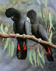 Red tailed black cockatoos.