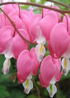 How to grow Bleeding Hearts #gardening #gardentips #dan330 http://livedan330.com/2015/04/18/how-to-grow-bleeding-hearts/