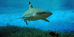 Black-tipped reef shark in the surf, Palmyra