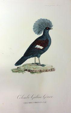 Colombi-Galline Goura, From: Les Pigeons par Madame Knip, née Pauline de Courcelles, Illustrated by Pauline Knip.