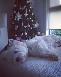 Gud mornin fwends! Zhorsted! Da festive season takin it'z toll on me! . Hope yoo haff a gwate day! Me will check backlog yoo all later yawns Be kind to one anovver . . #westhighlandwhiteterrier #westie #westiegram #dogsofig #whwt #westieapproved #westielove #westietude #westiesofinstagram #westiemoments #westielovers #westieoftheday #cutewestie #dogsofinstagram #barkbox #pupshow #terrier #dogsofmelbourne #melbournedogs #lacyandpaws #dostagram #puppytales #instawestie #ilovemydog #christmas…