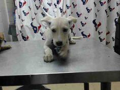This DOG - ID#A464003 - located at Harris County Animal Shelter in Houston, Texas - 7 WEEK OLD Female German Shepherd mix - at the shelter since Jul 16, 2016.