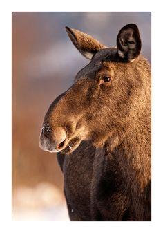 European Elk by Julian Cox looks like a moose to me!