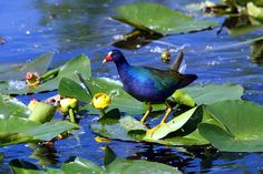 Exotic Purple Gallinule on a Lilypad in the Everglades.  From my Miami trip.