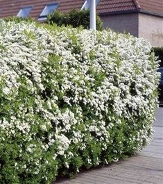 Spirea arguta Hedge - 5 hedge plants Buy online order yours now Garden Hedges, Garden Privacy, Privacy Landscaping, Outdoor Landscaping, Landscaping Ideas, Privacy Hedge, Hedging Plants, Garden Plants, Shrubs