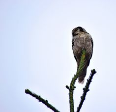 https://flic.kr/p/Mih4au | King of the treetops | Caught this owl on the top of…