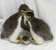 Gentoo Penguin Trio Debuts at Tennessee Aquarium