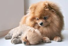 Mother Pomeranian Dog watching over her Baby Puppy