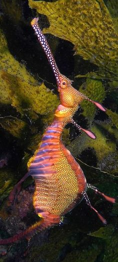 A Weedy Sea Dragon! Underwater Creatures, Underwater Life, Beautiful Sea Creatures, Animals Beautiful, Deep Sea Creatures, Fauna Marina, Sea Slug, Water Animals, Sea And Ocean